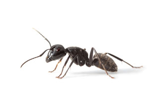 Local Ant Treatment