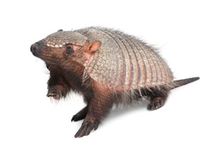 Parker Armadillo Treatment