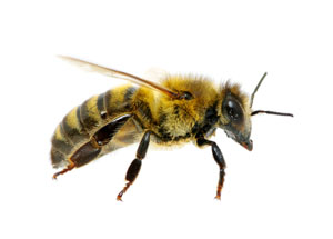 Las Vegas, NV Bee Treatment