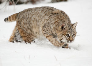 Local Bobcat Treatment