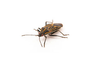 Local Boxelder Bug Treatment