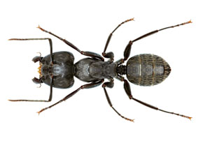 Local Carpenter Ant Treatment