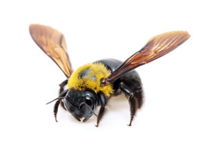 Oklahoma City Carpenter Bee Treatment