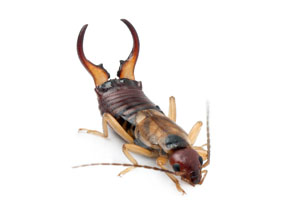 Colorado Earwig Treatment