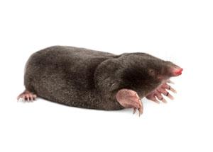Virginia Mole Treatment