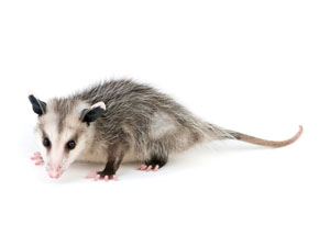 Local Opossum Treatment