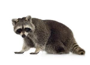 Local Raccoon Treatment