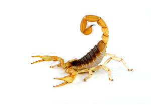 Local Scorpion Treatment